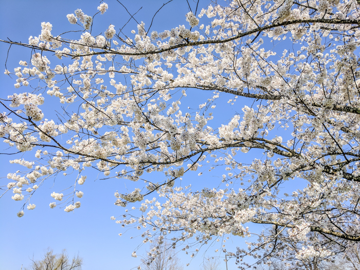Cherry blossoms in A.K. Bissell Park   How to Visit Manhattan Project sites in Oak Ridge, Tennessee   World War II museum, Oak Ridge National Laboratory, Atomic City, Secret City, US Department of Energy, American Museum of Science and Energy #oakridge #tennessee #worldwarii #atomicbomb #manhattanproject