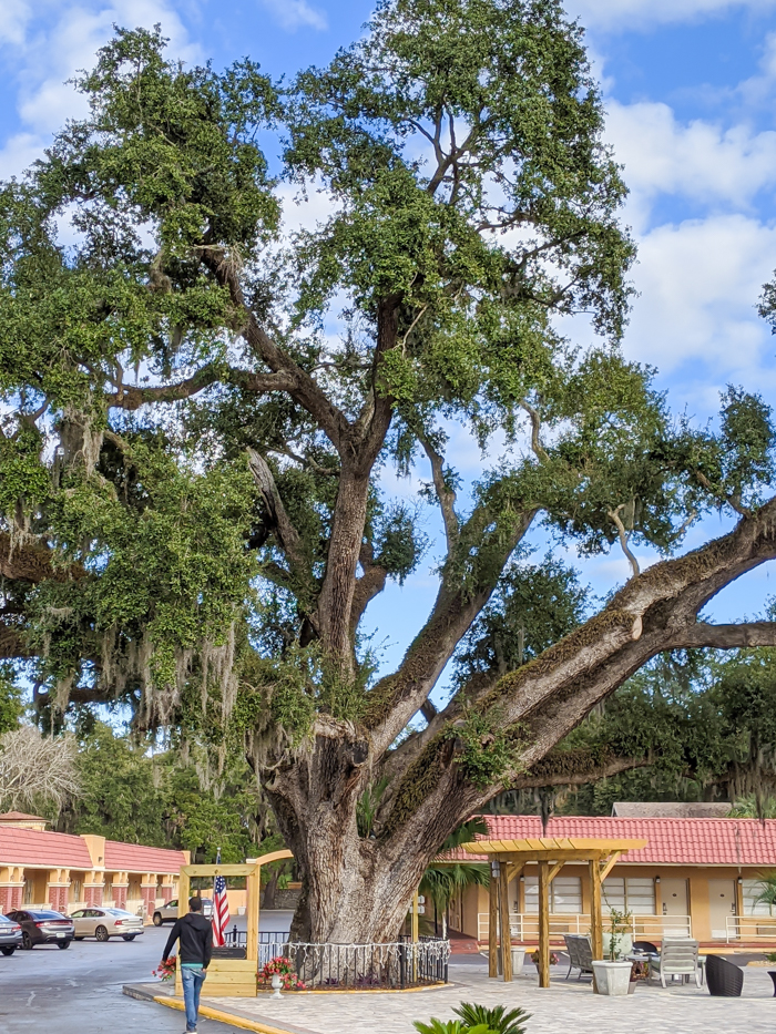 Old Senator, 600-year-old Live Oak tree in the center of Villa 1565, a hotel in St. Augustine, Florida #staugustine #florida