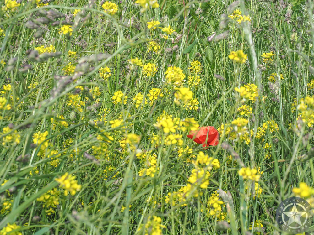 one red poppy in a field of yellow wildflowers at gold beach normandy